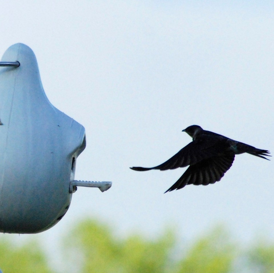 Purple Martin flying into a gourd.