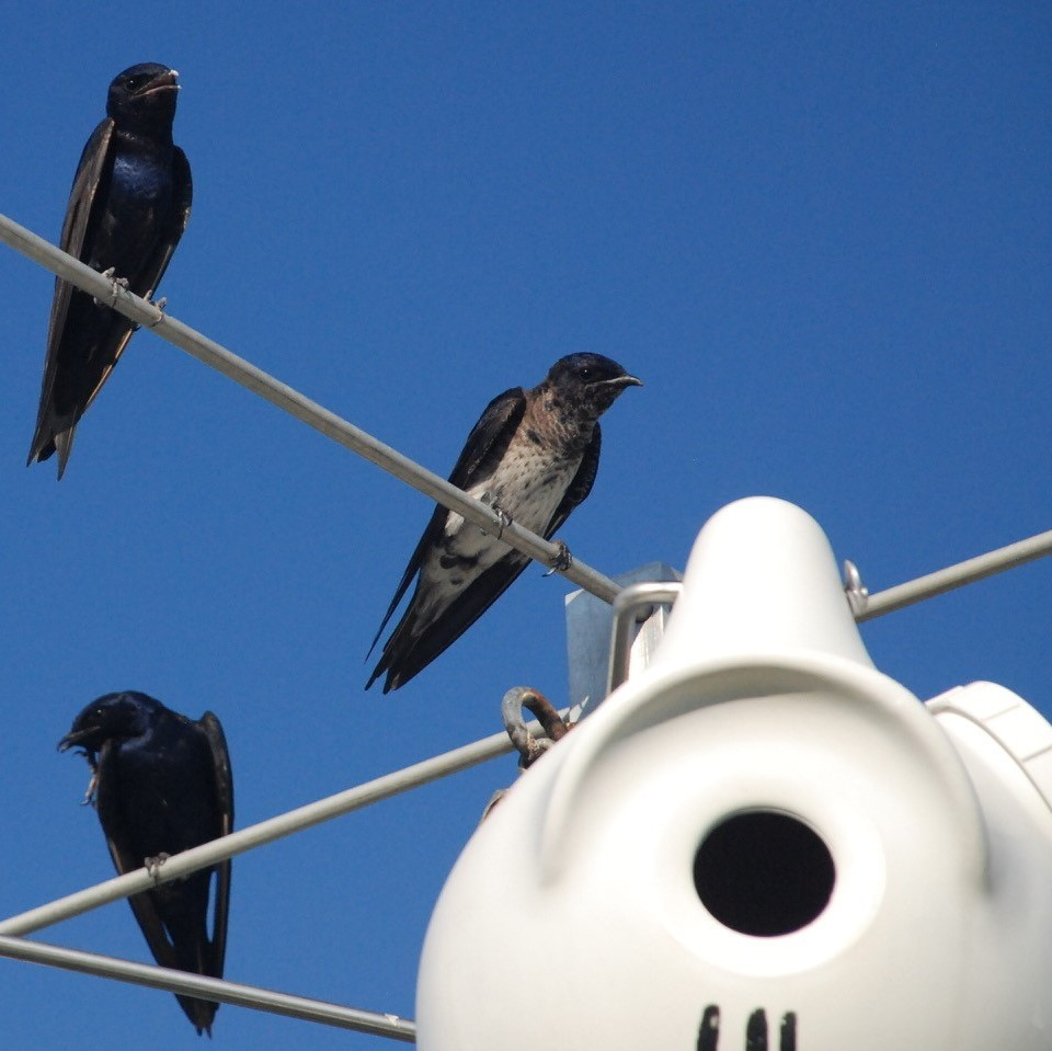 Three purple martins sitting on the stems of the poles, next to their gourd homes.