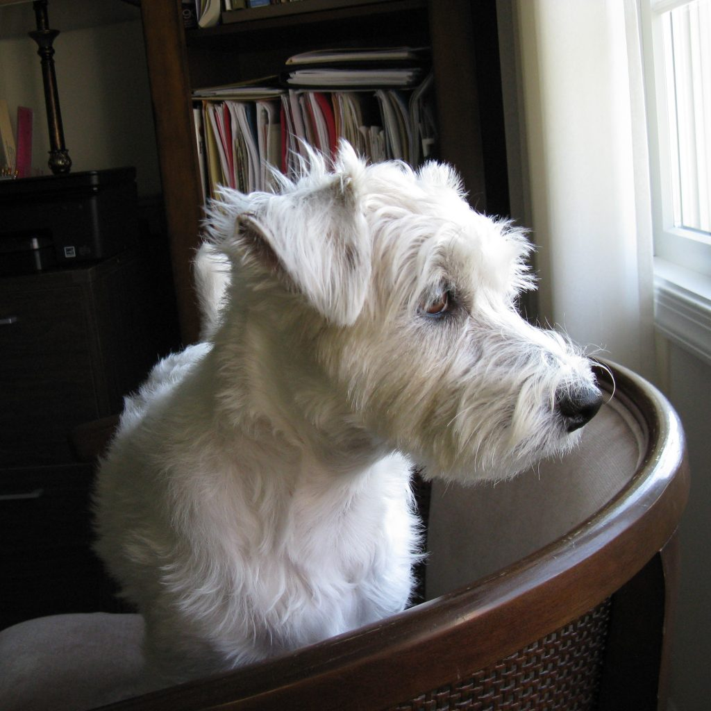 A white dog looking out the window